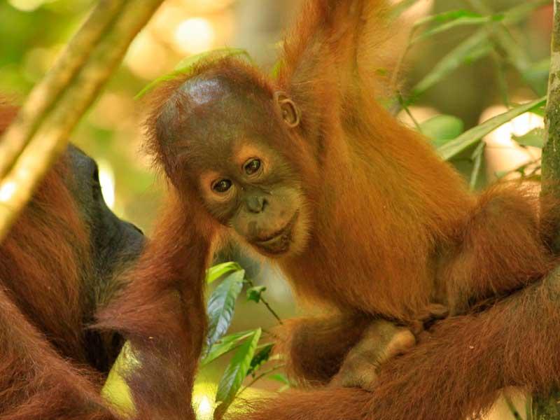 Orang oetans Sumatra - rondreis met kinderen Indonesië