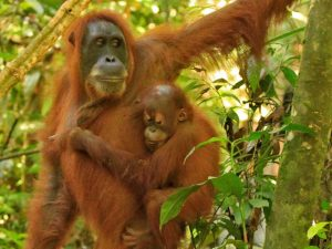 Orang oetans Sumatra - Indonesië Kids