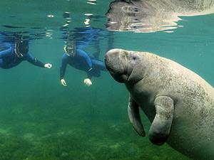 Zwemmen met zeekoeien Florida
