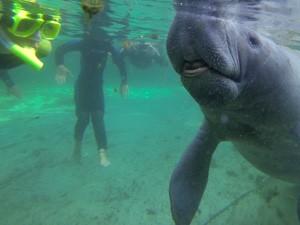 snorkelen-met-zeekoeien-florida-rondreis