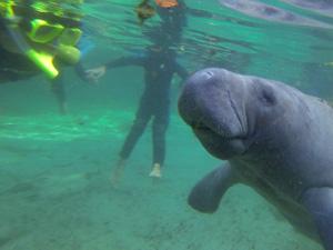 Florida rondreis met kids - zwemmen met zeekoeien