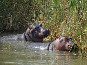 Nijlpaarden in het water tijdens je Zuid-Afrika familiereis