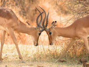 impalas-zuid-afrika-familiereis