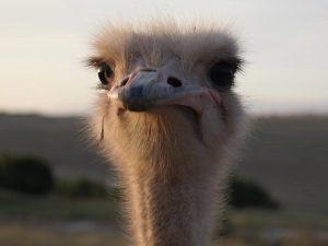 stuisvogel-zuid-afrika-kids