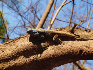 swaziland zuid afrika hagedis