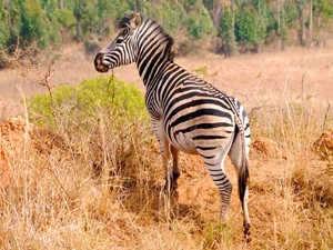 swaziland zuid afrika zebra