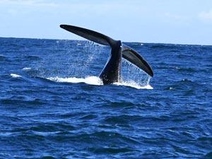 vakantie zuid afrika knysna walvis