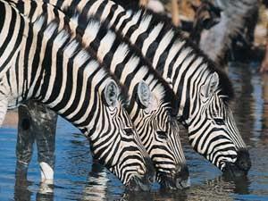 zebra-drinkend