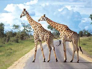 Giraffe spotten tijdens je Kruger Park self drive met kinderen