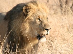 zuid afrika reis leeuw