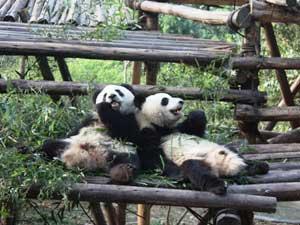 Pandas in weitläufigen Gehegen