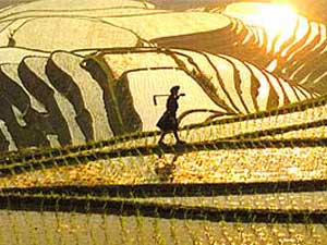 stimmungsvolle Reisterrassen