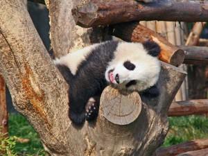 In Chengdu Pandas aus nächster Nähe beobachten