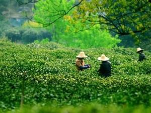 Teeernte in den Teefeldern bei Hangzhou