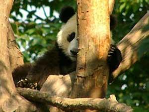 Niedliche Pandas im Panda Breeding Center