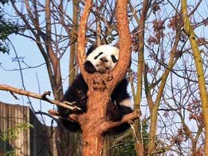 Pandas bei Chengdu