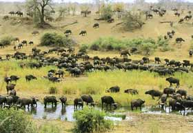 Buffels - big five Zuid-Afrika