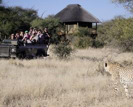 Cheetah spotten - Game Drive