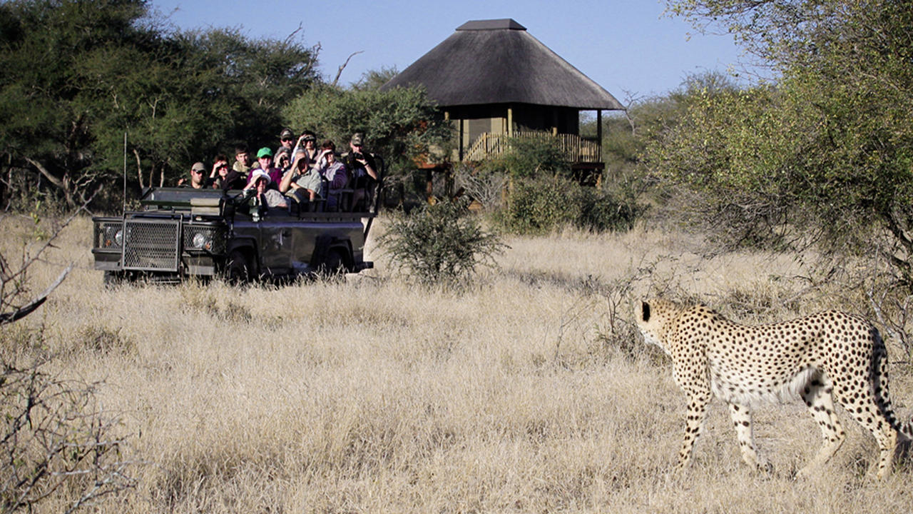 Cheetah spotten - Game Drive