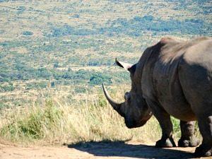 Neushoorn tijdens je Hluhluwe safari