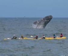 Zeesafari: kajak tussen de walvissen