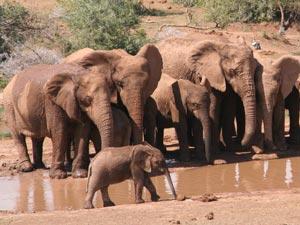 Olifantenfamilie in Addo Zuid-Afrika