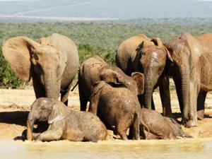 Badderende olifanten in Addo
