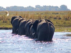 Chobe NP Botswana - olifanten