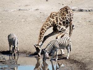 Drinkende giraf en zebra's - Botswana