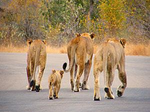 Fly drive Zuid-Afrika - leeuwen