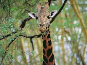 Giraffe - rondreizen Zuid-Afrika