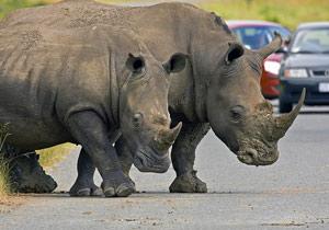 Neushoorns op de weg - Zuid-Afrika