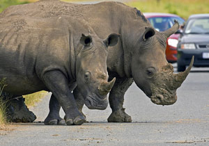 Neushoorns op de weg - kampeerreizen Afrika