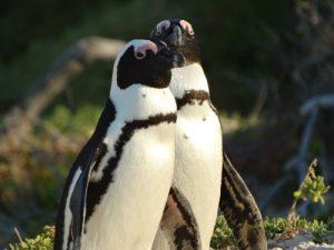 Pinguïns Zuid-Afrika