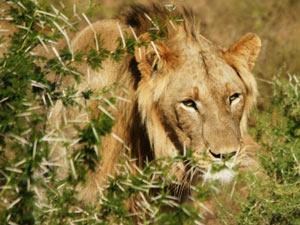 Leeuw in Kruger park