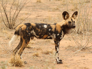 Safari Kruger Wilde hond
