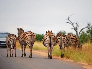 Zebra's op de weg - Zuid-Afrika