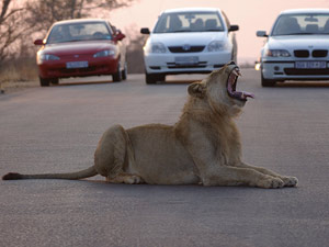 Rondreis Zuid-Afrika - leeuw op weg