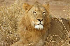 Leeuw - rondreis Botswana