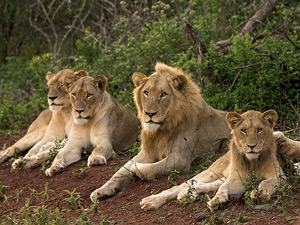 Leeuwen in het nationaal park