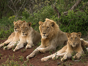 Safari Krugerpark - leeuwen