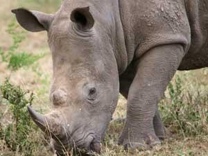 Afrikaanse grijze reuzen: neushoorn
