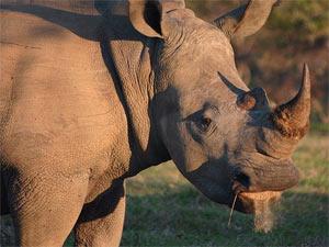 Neushoorn - safari reizen Zuid-Afrika