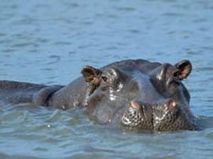 nijlpaardje