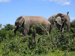 Olifanten spotten in Addo Park