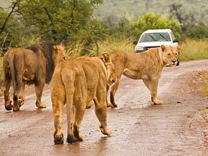 Safari Pilanesberg - leeuwen op weg
