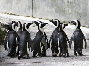 Pinguïns bij Boulders Beach