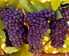 Pinotage, een smakelijke Zuid-Afrikaanse wijn