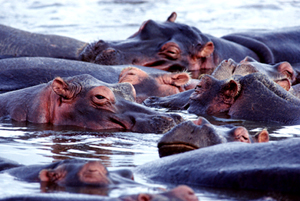 Zuid-Afrika reis: nijlpaarden op bootsafari