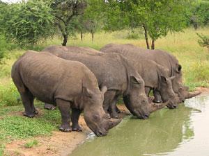 Neushoorns in Transfrontier Park - Mozambique